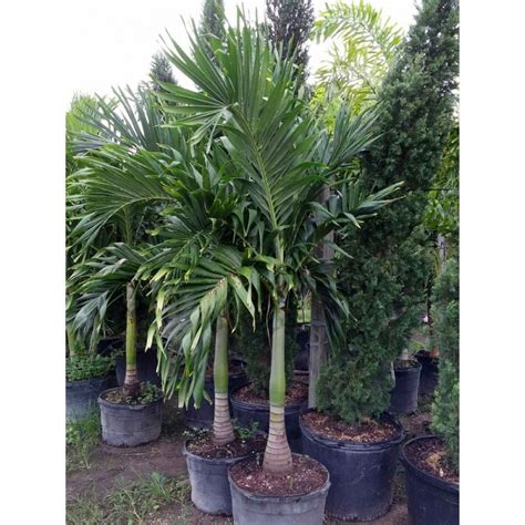 christmas palm tree adonidia merrillii florida