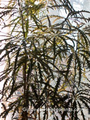 false aralia plant dizygotheca elegantissima care tips