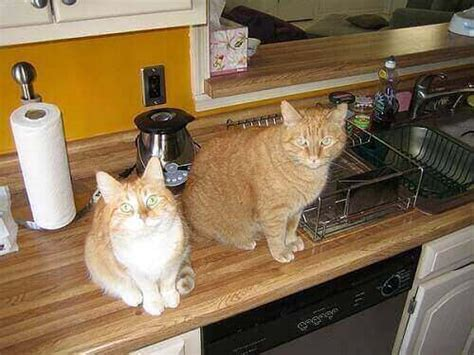 how to stop your cat jumping on counters and tables how to keep cats kitchen counters simple tips and guides