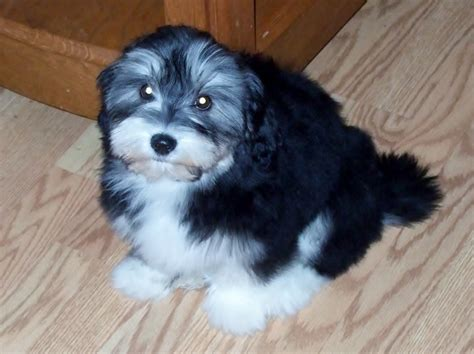 happy paws havanese th is is bay at 15 weeks she has such a pretty just like
