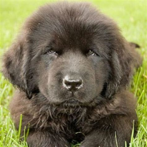 newfoundland puppies illinois crooked river saints newfoundland breeder in waterford maine