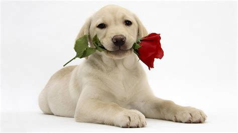 sweet puppy sweet with in new hd wallpapernew hd wallpaper