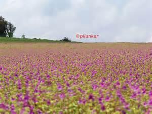 Flowers Of Every Month - kaas plateau kas pathar flowers satara my blog space
