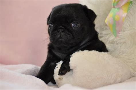 pet shop pug puppies for sale the 25 best pug puppies for sale ideas on pugs pug puppies and baby pugs