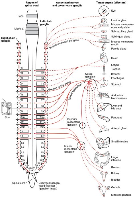 diagram of spinal cord this diagram shows the spinal cord and the connections