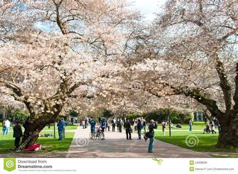 u of s cherry trees of washington blooming cherry trees editorial stock image image 24008639