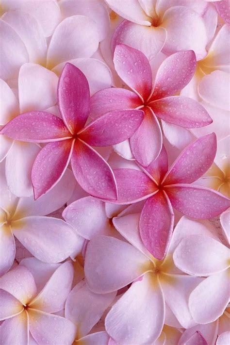 Hermosa Hawaiian Pink flower iphone wallpaper kiut textura flor