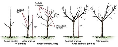 what time of year do you plant fruit trees time to prune fruit trees but wait until the stops