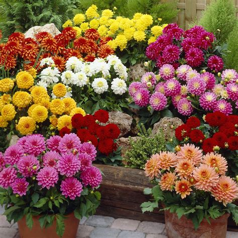 Jual Bibit Bunga Dahlia jual bibit bunga dahlia unwins mix bunga musim panas