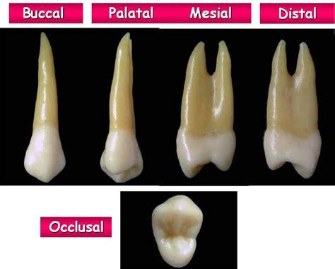 Maxillary Premolar Rxdentistry Dental Anatomy Of Premolars
