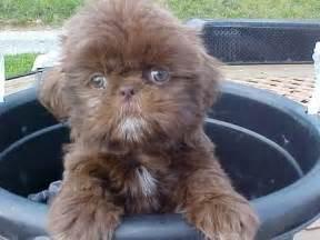 brown shih tzu names chocolate shih tzu puppies shih tzu puppies puppies