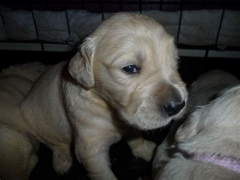 golden puppies for sale golden retriever dogs for sale or adoption breeds