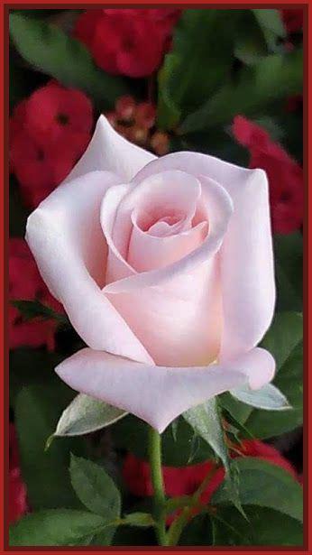 imagenes rosas amor imagenes de rosas de amor archivos imagenes de rosa