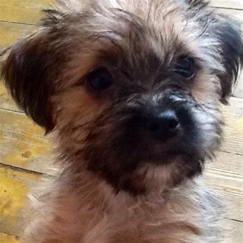 shih tzu x yorkie for sale yorkie x shih tzu puppy enfield middlesex pets4homes