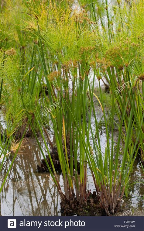 Plants Used For Paper - papyrus sedge paper reed indian matting plant nile