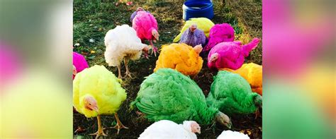 colored turkeys colored turkeys the hit of connecticut turkey farm abc news
