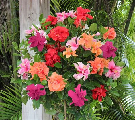 multi color tree cottage farms braided flower hibiscus 4 color tree