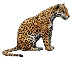 Drawings Of Jaguars Amazing Of Jaguars Chasing