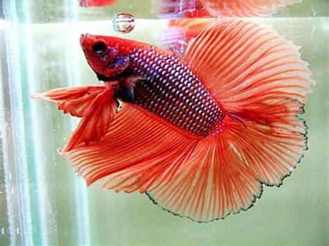 Makanan Ikan Cupang Kawin cara mengawinkan ikan cupang binatang peliharaan
