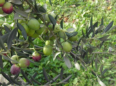 Bibit Pohon Zaitun Bogor nasydira nursery page 2 hijau kebunku sejuk duniaku