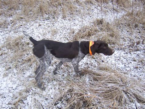 german shorthaired pointer puppies mn german shorthaired pointer pupies minnesota german shorthaired pointers in