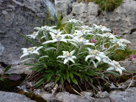 la stella alpina fiore stella alpina linguaggio dei fiori il giardino tempo