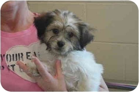 adoption baton teddy rescue shelter breeds picture