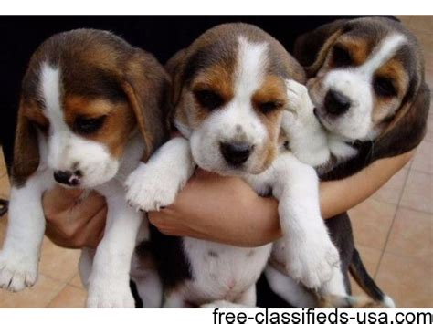 beagle puppies az beagle puppies ready to go home now animals arizona announcement 38136