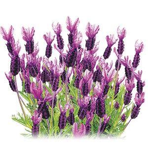 lavanda stoechas in vaso piante ed erbe aromatiche lavanda stoechas acquistare