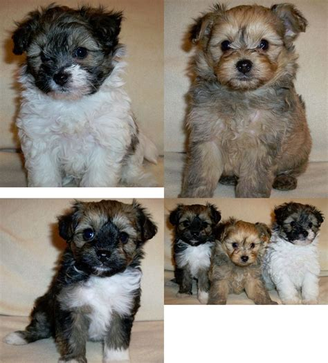 pomapoo puppies pomapoo puppies for sale coalville leicestershire pets4homes