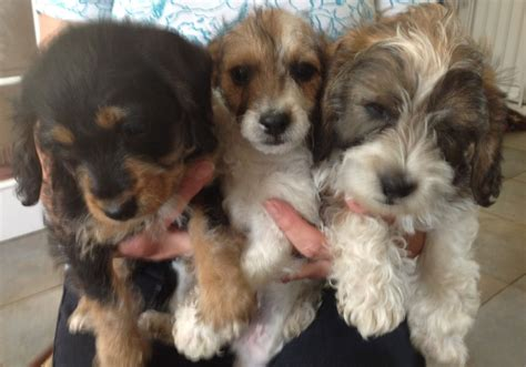 poodle x yorkie adorable norfolk yorkie x poodle pups march cambridgeshire pets4homes