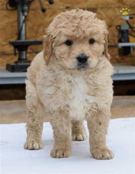 lancaster puppies ohio 1000 ideas about mini goldendoodle on golden doodles goldendoodle and