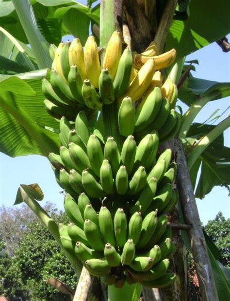 aplikasi digrow  tanaman pisang digrow indonesia