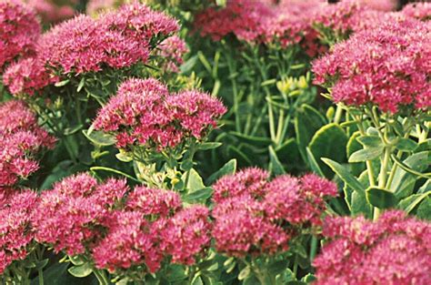 5 low maintenance drought resistant perennials to plant