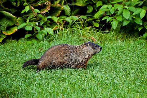 groundhog in backyard the best ways to rid your yard of groundhogs