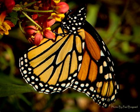 treknature monarch color photo