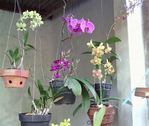 Pot Anggrek Bulan tanaman hias cara menanam bunga anggrek secara hidroponik