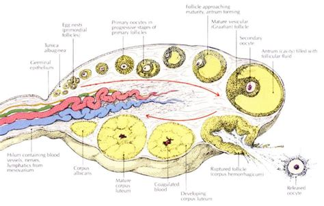 ovary diagram anatomy and physiology ovarian cycle the learning