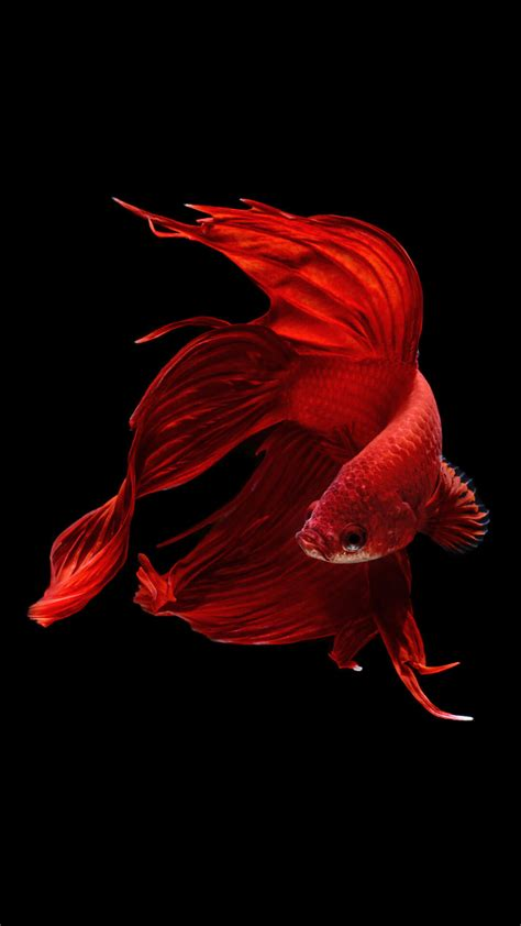 Wallpaper Iphone 6s Hd Fish | betta fish iphone 6 and iphone 6s wallpaper hd animal