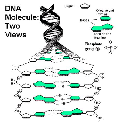 Dna Labeling Worksheet by Unsibio10dna A B Dna Structure