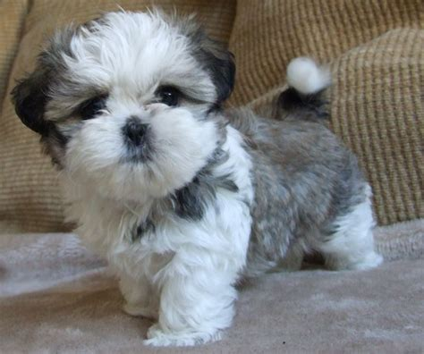 shih tzu images best 259 shih tzu heaven images on animals and