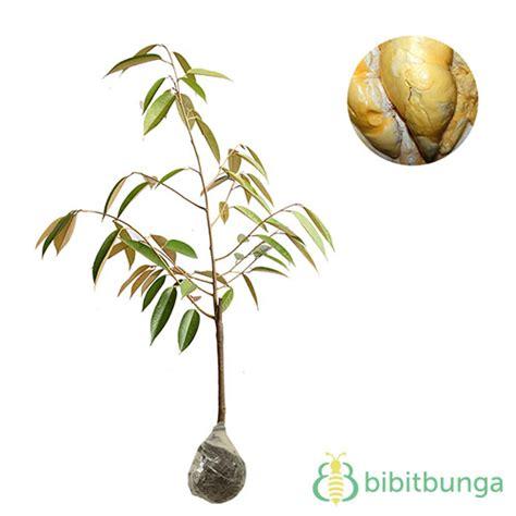 tanaman durian kumbokarno bibitbunga