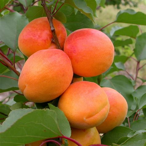 apricot fruit trees tomcot apricot tree rocket gardens