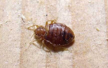 insetti nel materasso cimici nei materassi segnalate 10 emergenze al giorno a