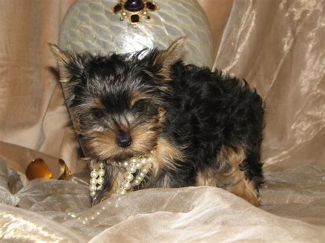 free puppies in mississippi two teacup yorkie puppies for free adoption to a home breeds picture