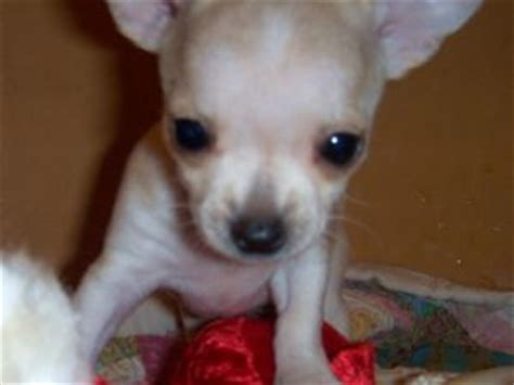 chihuahua puppies for sale in arkansas chihuahua puppies in arkansas