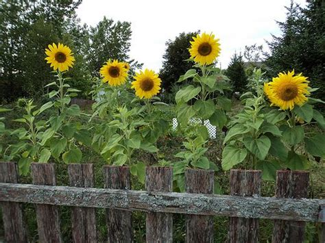 Sunflower Garden Ideas 1000 Ideas About Sunflower Garden On Pinterest Sunflowers Gardening And Diy Greenhouse