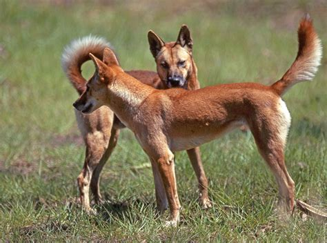 dingo dogs dingoes