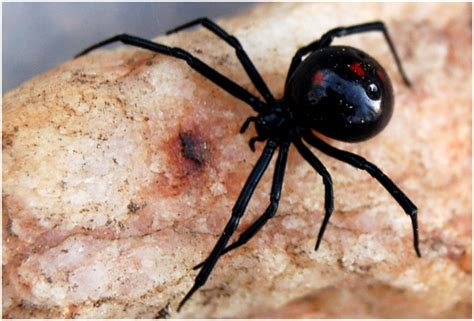 black widow spider black widow spider facts pictures lifecycle info