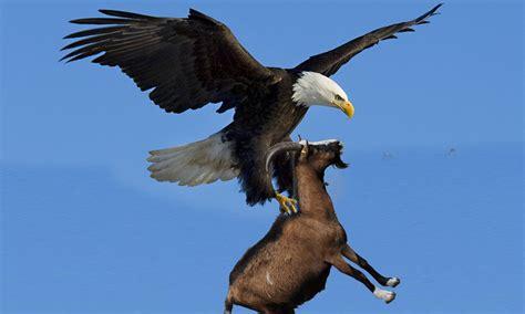 golden eagle goat